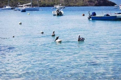 Pelikane in Deshaie