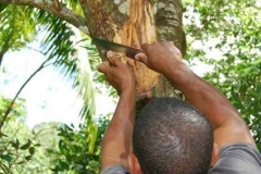 Gordon scheidet Zimt vom Baum