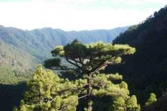 Kiefernwald der Cumbrecita
