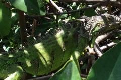 Leguane auf St. Maarten