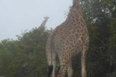 13. Giraffen