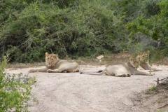 15. Löwen auf der Straße