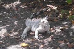 Leguan gezackt