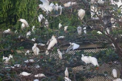weiße Reiher in Castries